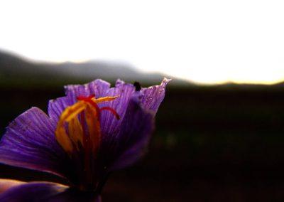 Taste-Scenario_viaggi-Abruzzo_zafferano-saffron