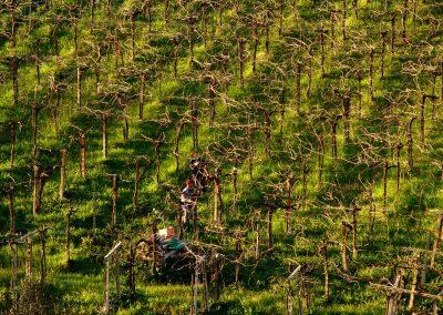Vineyard_Vigne_pruning_potaturaAbruzzo