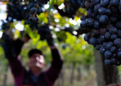 Taste-Scenario-Vini-Wines-h-vendemmia-harvest
